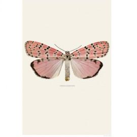 apotekarns-illustration-utethesia-ornatrix-bella
